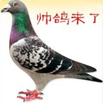 帅鸽 来了 信鸽 彩毛