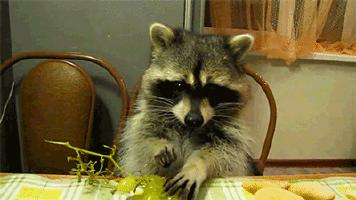 小浣熊 贱贱的 吃葡萄 好吃 yumyyumy