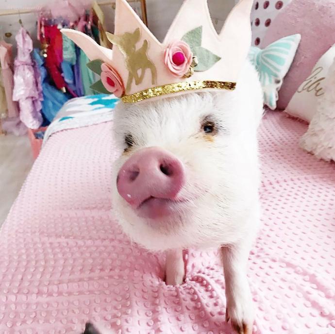 宠物猪 黄冠 沙发 抱枕