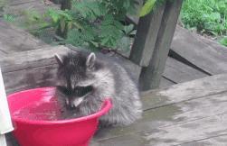 小浣熊 水洗 戏水 搓搓 可爱